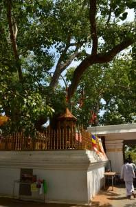 anuradhapura-Sri-maha-Bodhi-Sri-Lanka-mysrilankatravel