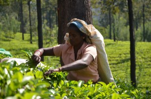 nuwara-eliya-tea-picker-sri-lanka-mysrilankatravel