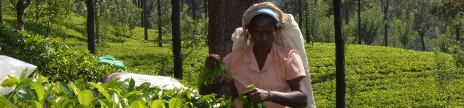 nuwara-eliya-tea-picker-sri-lanka-mysrilankatravel-940