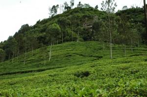 nuwara-eliya-tea-plantation-sri-lanka-mysrilankatra