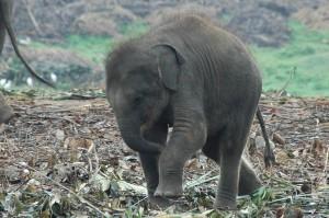 pinnawala-sri-lanka-elephant-orphange-mysrilankatravel-baby-elephant