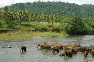 pinnawala-sri-lanka-elephant-orphange-mysrilankatravel-elaphant-bathing