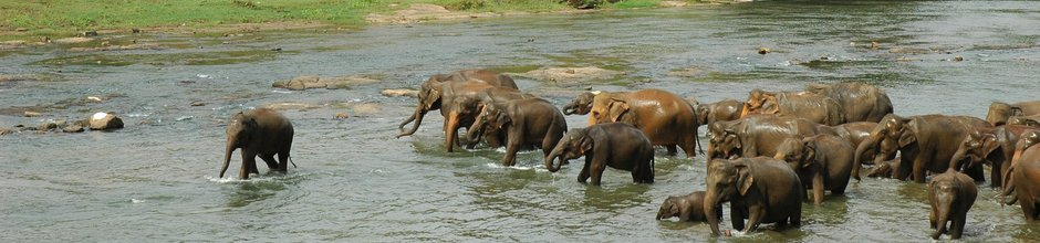 pinnawala-sri-lanka-elephant-orphange-mysrilankatravel-elaphant-bathing-940