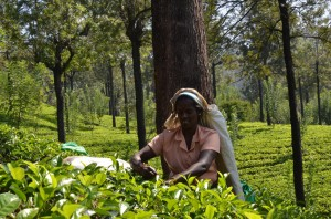 tea-picker-sri-lanka-mysrilankatravel