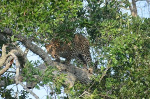 yala-national-park-leopard-sri-lanka-mysrilankatravel