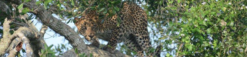 yala-national-park-leopard-sri-lanka-mysrilankatravel-940