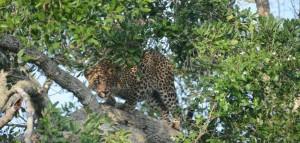 yala-nationalpark-leopard-sri-lanka-mysrilankatravel